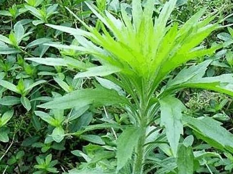 诗经里的植物|你不知道的故事,农村常见的小蓬草