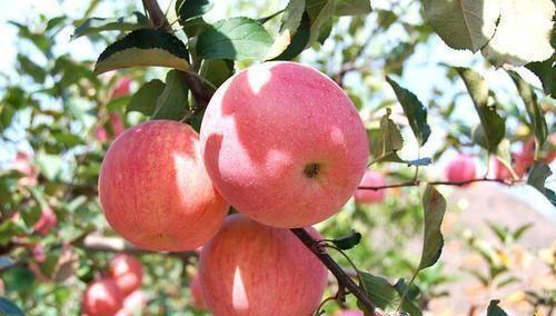 红富士苹果种植中,如何提高果实的亮度和色度
