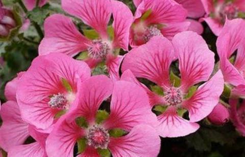 """喜欢玫瑰,不如养""""优良月季""""戴尔巴德,花型丰满,色泽柔和!"""