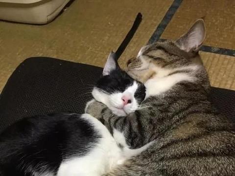 两只猫感情非常好,从小到大,相互保护着对方!
