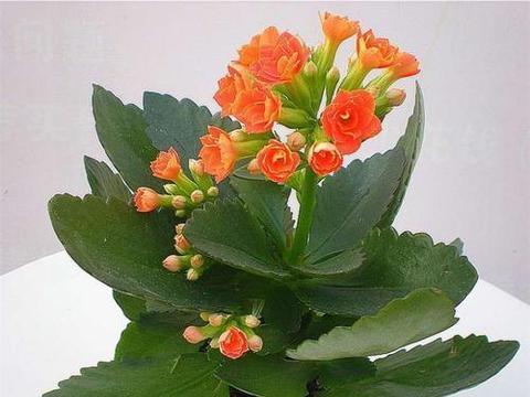 过大年,四大最受欢迎春节花卉来拜年,美好寓意