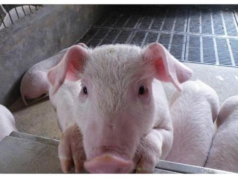 为何欧美国家的人们偏向于吃牛肉,而我们中国人更喜欢吃猪肉呢?