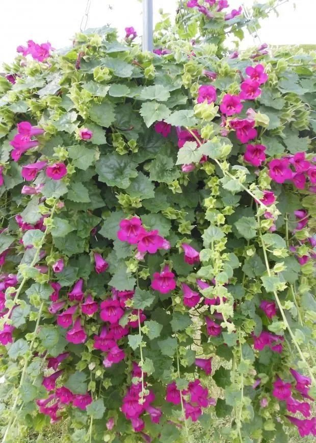 叶子像瓜叶的双生金鱼藤,可以养成爬藤植物或垂吊盆栽