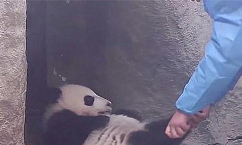 熊猫宝宝在睡懒觉,奶爸上前想叫醒,却有些束手无策了:耍无赖呀