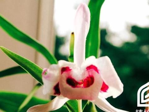 「植培施」石斛Dendrobium nobile 热带兰栽培手册