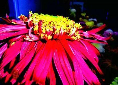 """迷上养花,就养""""花中美品""""盘龙桂色,花开似金蕊红衣,飘逸迷人"""