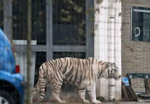 老虎走在街上闲逛,吓坏了围观群众,驯兽员:都是我的错