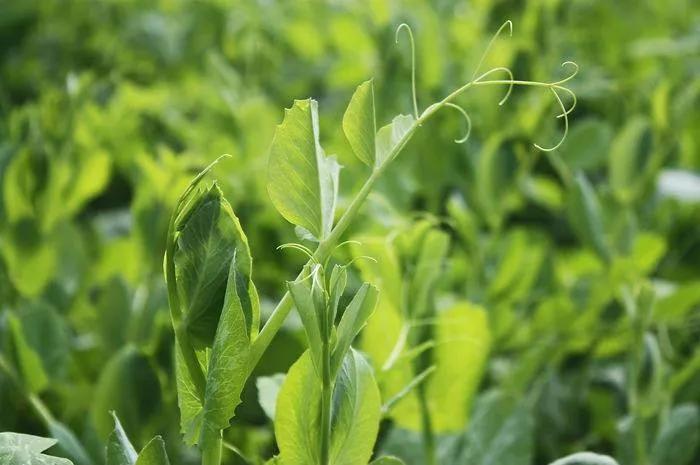 早春时节,你与春天的距离,只差一把豌豆尖!