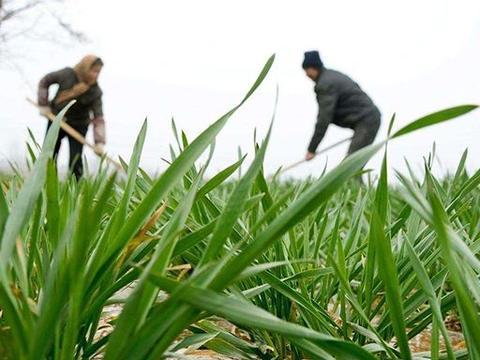 种植冬小麦采用深耕犁后,造成了冬小麦减产3成多,咋回事?