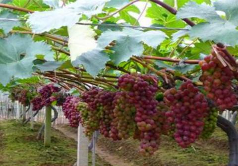 出现了这些症状,表示葡萄树缺肥了,要求及时补充