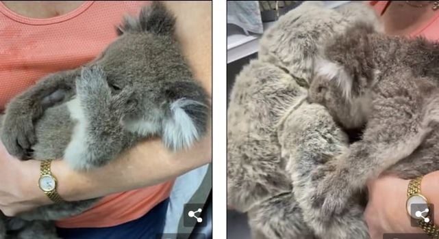 澳洲孤儿考拉拥抱小熊毛绒玩具,把它当妈妈,想要喝奶