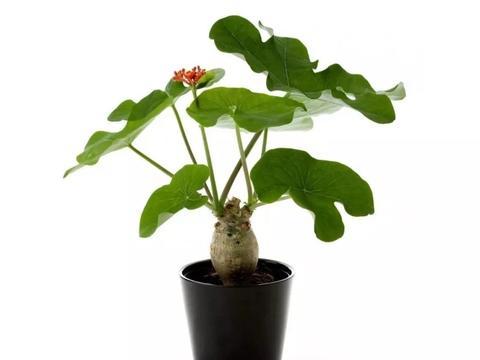 根茎膨大的佛肚树,长着像无花果一般的叶子,四季都可以开花