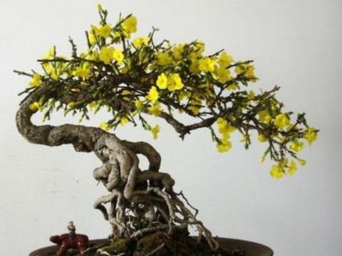 """迎春花盆景,花期有4个""""小技巧"""",能够延长观赏期"""