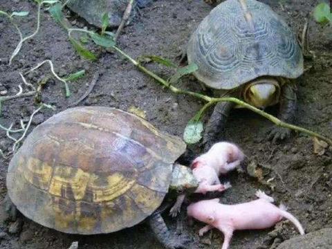 老鼠筑巢河岸边生子, 没想到被一群乌龟围剿, 幼崽遭生吞