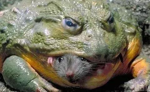 非洲巨蛙竟如人一般高, 现在快要灭绝了吗?