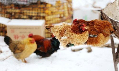 """群鸡雪地为取暖秀""""金鸡独立"""",唯一公鸡挨个与每只母鸡秀恩爱"""