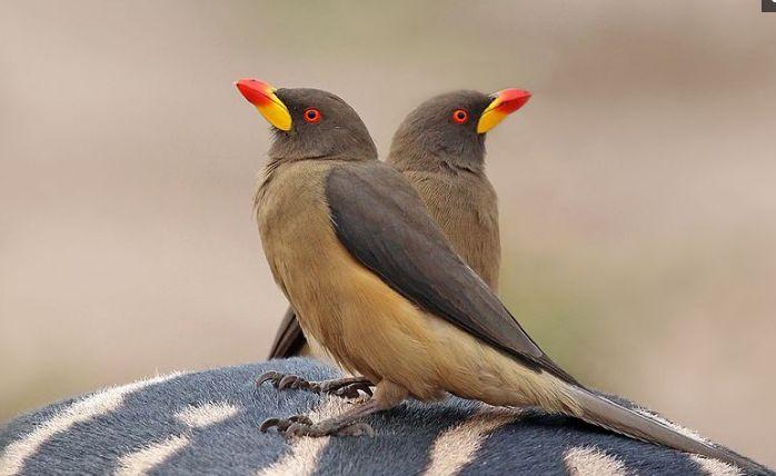 动物界护理工人牛椋鸟,但它并非善类,手段很是残忍!