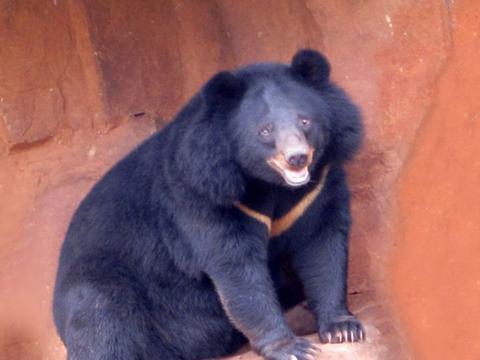 黑熊的头部又宽又圆,顶着两只圆圆的大耳朵,形状颇似米老鼠