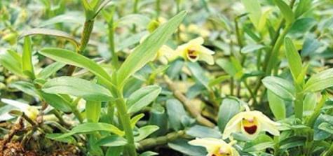 种植铁皮石斛应该注意哪些事项?导致叶子发黄的原因是什么?