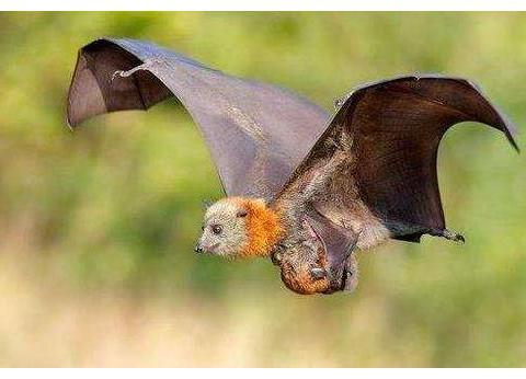 蝙蝠母子之间是用超声波交流的吗?它们是如何识别自己孩子的?