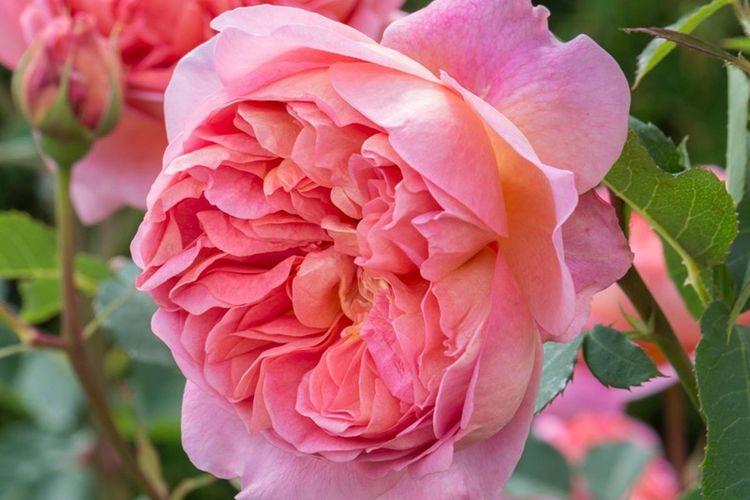 """喜欢玫瑰,就试试""""珍稀品种""""博斯科贝尔,活泼可爱,似佳人伴舞"""