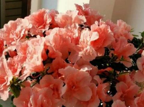 """老花匠养花,就用""""2种肥"""",花盆里埋一点,盆栽花争着开爆"""