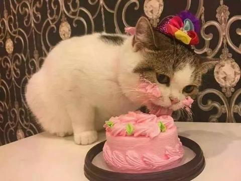 主人过生日,猫咪趁不注意抢先享用蛋糕,主人生气的脸被它萌翻了