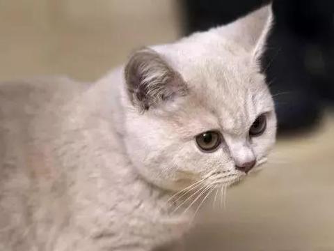 为什么英短猫那么多人喜爱,原因有4个,健康与易胖是重点!