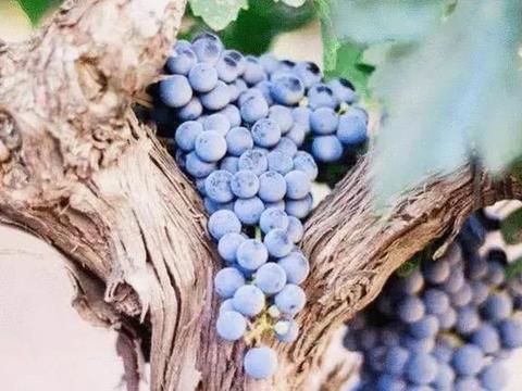 世界上最古老的葡萄树,已达176岁高龄,每年可产7吨葡萄