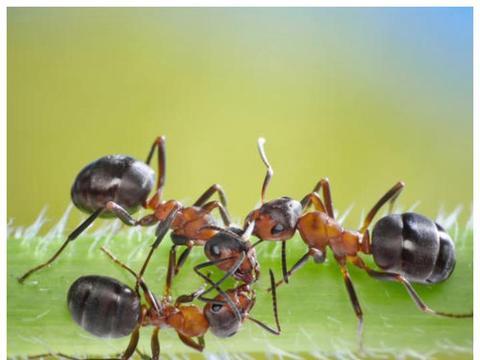 """假如""""蚁后""""死了,剩下的蚂蚁会如何?涨知识了"""