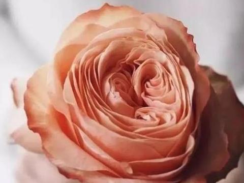 """喜欢菊花,就养盆""""玫瑰精品""""卡哈拉,花心似漩涡,清奇娟秀"""