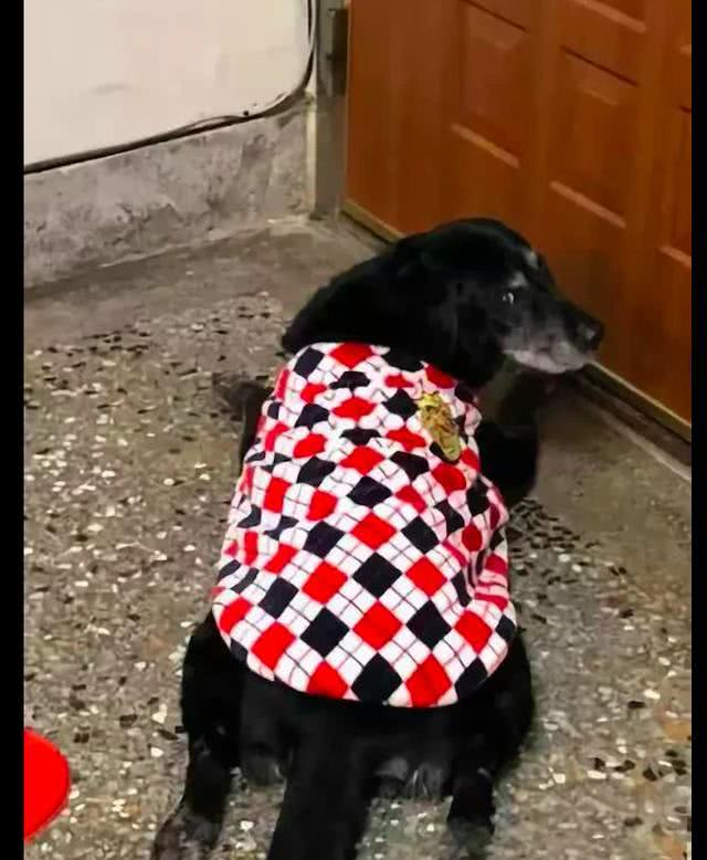 狗狗患白内障听力也退化了,依然每天准时守在门口,等待主人回家