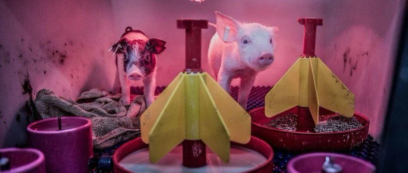 这些猪,能解决人类器官移植危机?