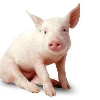 吃肉问题大家别担心!1月份全国生猪生产稳步恢复