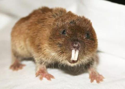 那些摆脱了Y染色体的老鼠,它们会是人类演化的未来吗?