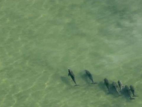 这只海豚不断用尾巴拍打海底 直到掀起砂石才发现他们太聪明!
