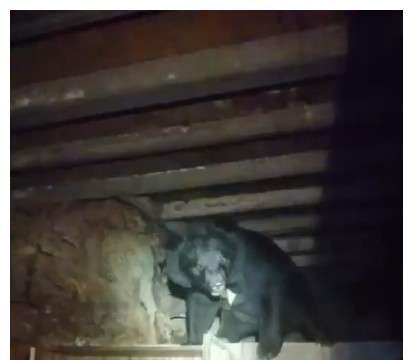 """10天内4度发现野生黑熊来觅食 嘉明湖林管处""""护熊封山15天"""""""