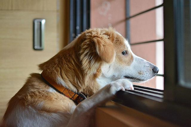 狗狗不舍你出门,和分离焦虑不同!分离焦虑的狗狗很痛苦