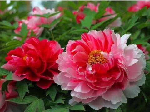 """""""4种""""牡丹花,国色天香,雍容华贵,惹人喜爱,可全年循环开花"""