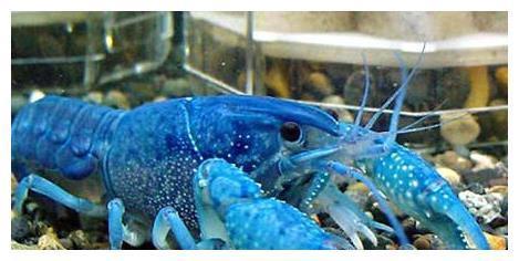 """龙虾中的""""贵族""""蓝色龙虾,您敢吃吗?吃货:煮熟后是什么颜色?"""