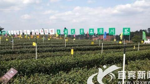 2020年第十三届中国·宜宾网上早茶节启动仪式24日举行