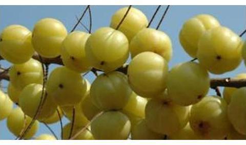 油甘果泡蜂蜜有什么作用?蜂蜜泡油甘果的做法
