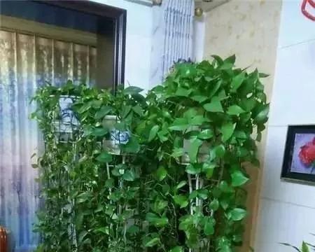 绿萝四季常绿,净化空气,水里加点阿司匹林,藤条呼呼长一米长