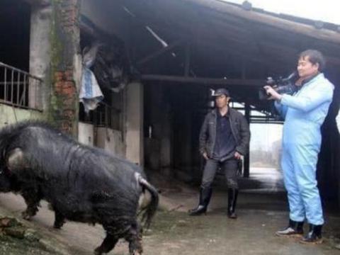 """13年生2万个娃的""""高产母猪"""",被称""""中国最牛""""猪,现状如何"""