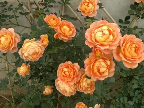 此种小型藤本花卉,全年都开花,花量巨大,气味芬芳