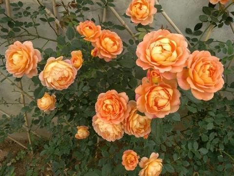 此种小型藤本花卉,全年都开花,花量巨大,气味芬芳,盆栽也可以