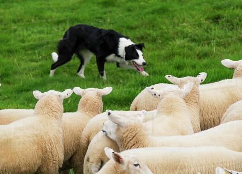 牧羊犬的本能,用3招让羊群听话,但却变成主人讨厌的坏习惯