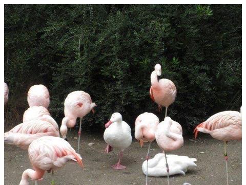 鸭子误入火烈鸟群,被迫抬起一只小脚丫:不能被发现我与众不同
