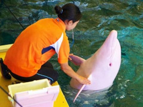 海豚天生缺乏黑色素,通体白色,生气或情绪波动时变成粉红天使