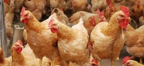 """贵州的这个地方有一种名为""""八卦鸡""""的美食,据说与占卜文化有关"""